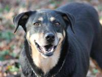 Black and Tan Coonhound - Sadie - Medium - Adult -