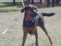Black and Tan Coonhound - Sheila - Medium - Adult -