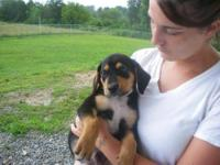 Black and Tan Coonhound - Snuffy - Large - Baby - Male