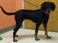 Black and Tan Coonhound - Vali - Medium - Adult -