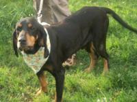 Black and Tan Coonhound - Venus - Large - Adult -