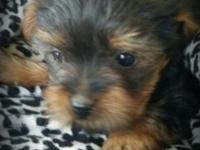 Female 8 week old female black and tan female puppy