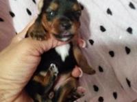 Black and tan yorkie female Perfect tricolor markings