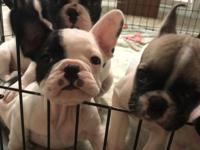 I have 2 black and white french bulldogs for sale.They