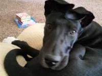 I have for sale a beautiful female Great Dane. She is