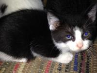 Black and White Male Kitten 8 weeks old. Ready to