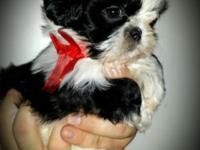 I have purebred shih tzu puppies all set today. They