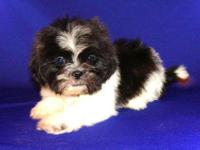 """Oreo"" is a black and white  male Shih Tzu puppy. He"
