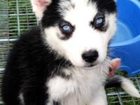 I have adorable husky puppies ready for their new