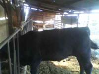 1 year old Black Angus for sale not registered. It