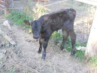 Black angus bottle bull. 2 weeks old. call