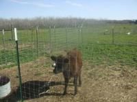 Young 5 Month old Black Angus Calf Call  $800 OBO NO