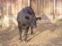 We have one Black Angus Female raised organically. She