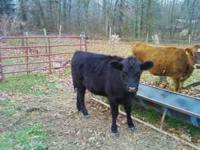 I have a great Black Angus Heifer Calf for sale eats