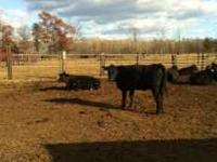 FOR SALE - 20 FANCY BLACK ANGUS HEIFERS BRED FOR