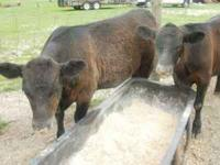 Two Blank angus Heifers 550lbs $800.00 each  Location: