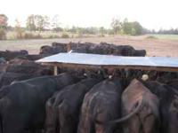 Black cattle for sale-50 cows, 41 calves, one reg.