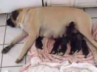 Pups are AKC English Mastiffs. Dark brindle in color,
