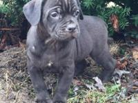 Merendo Cane Corso has a new litter of Black Pups and