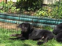 Merendo Cane Corso has a litter Black Pups. Males and