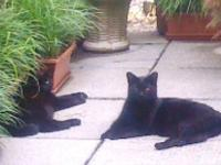 Two Sweet Black Cats that are brother and sister. Sam