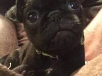Full blood Chinese Pug puppy for sale. 9 weeks old,