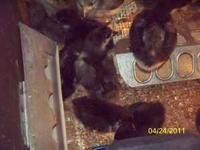 Black Copper Maran Chicks 2 weeks old $5.00 each Rarest