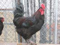 I have been filling orders for Black Copper Marans