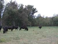 Nice Cows! 8 young cows. black and black baldie, 2nd