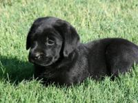Black English Labradors bred for health, conformation,