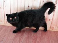 I have a black male Exotic Shorthair available to a pet