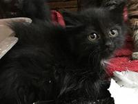 Black Female Kittens!'s story We currently have 4