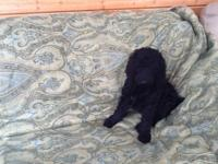 Beautiful Inky Black Female Standard Poodle Puppy -