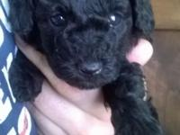 Strong black toy poodle lady, looks like black velour