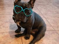 WE have available of outstanding quality French bulldog
