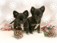 Shooting Stars Chihuahuas has an impressive litter of