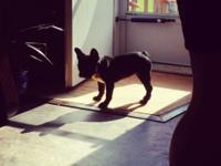19 weeks old female French Bulldog puppy. She is