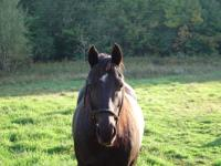Wonderful, gentle Black Gelding. He is a grade horse.