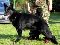 1 YEAR OLD AKC REG SOLID BLACK GERMAN SHEPHERD FEMALE