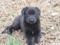 3 AKC registered black females. 8 weeks as of March 15.