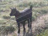 Cute black pygmy goat, fixed, approx 6months old,