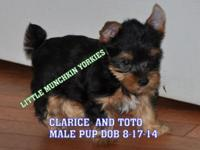 BLACK AND GOLD MALE PUPPY MOM CLARICE, DAD TOTO. HE IS