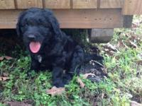 Gorgeous black Goldendoodle pups. First puppy shot,