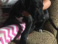 beautiful Black great dane male pup for sale he is 8