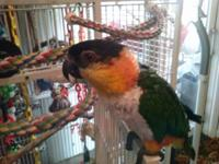 Mr Bean is a 3 year old Black Headed Caique in