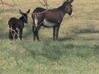 7yr old Black Jennet with Black colt born Friday,