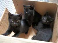 3 black kittens looking for loving homes. If you are