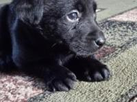 8 wk old pure breed Black lab puppies. very sweet and