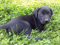 Have 5 labrador retriever pups that will be ready for