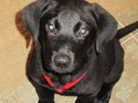 Need a good home for our 15 week old Black Lab, Brody.